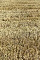 agricultura de campo de trigo foto