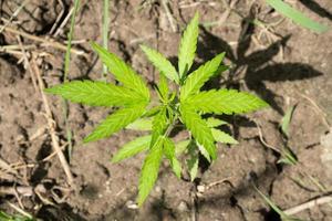 jovem broto verde de maconha em uma planta de cannabis ao ar livre foto