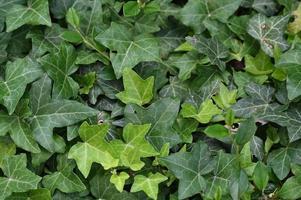 textura de folha verde ivy foto