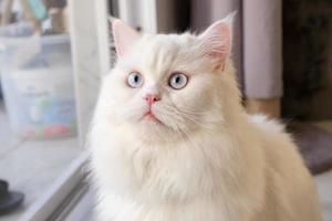 boneca persa cara chinchila gato branco. animal de estimação fofo fofo com olhos azuis foto