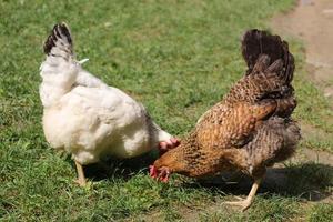 duas galinhas pastam na grama. foto