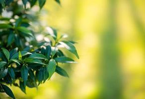 Gerdenia crape jasmim folhas verdes no jardim em fundo natural foto