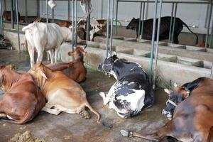 vacas leiteiras descansando em uma casa de fazenda foto