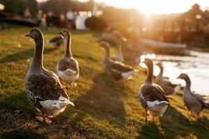 bando de pássaros patos caminhando na grama ao pôr do sol foto