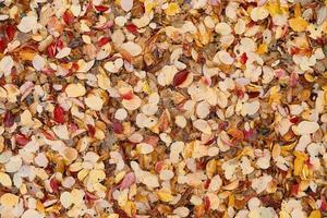 folhas de outono amarelas e vermelhas caídas. foto