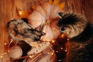 dois gatos curiosos olham para um lenço de malha e uma abóbora madura. foto