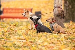 três cães amarrados à árvore e esperando na coleira. três cachorros no parque de outono foto