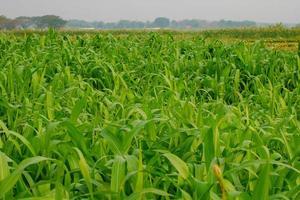 campo de milho jovem, campo de milho na luz da manhã foto