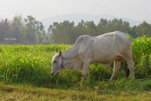 vacas pastando na beira do milharal na luz da manhã foto