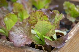 folhas verdes frescas de alface, alimentos orgânicos vegetais de saladas. foto