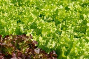 folhas frescas de alface de carvalho, saladas, fazenda de hidroponia vegetal foto