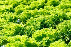 folhas frescas de alface americana, saladas, fazenda hidropônica de vegetais foto