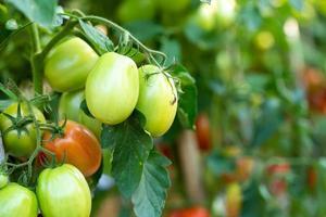tomates vermelhos maduros estão pendurados na árvore de tomate no jardim foto