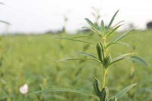fazenda de gergelim saudável e verde foto