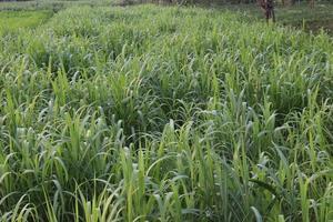 fazenda de cana em campo para colheita foto