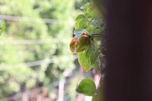 pimenta verde na árvore foto