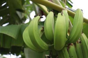 cacho de banana na árvore firme foto