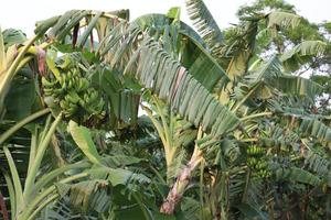 estoque de bananeira na fazenda foto
