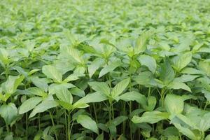 Fazenda de juta de cor verde no campo foto