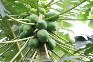 saboroso e saudável mamão verde cru na árvore foto