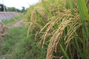 fazenda de arroz maduro no campo foto