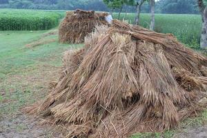 estoque de arroz seco na fazenda foto