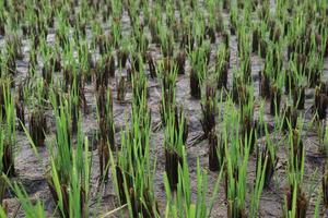 Fazenda de arroz verde para colheita foto