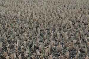 um close de uma fazenda de arroz após o corte foto