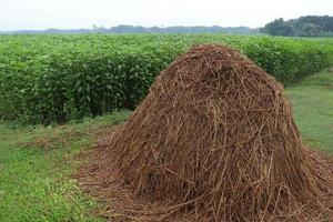estoque de arroz seco com fazenda de juta foto