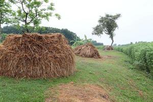 estoque de arroz seco no campo para alimentação de vacas foto