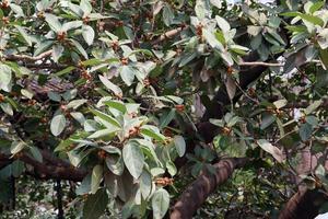 estoque de folhas verdes na figueira-da-índia foto