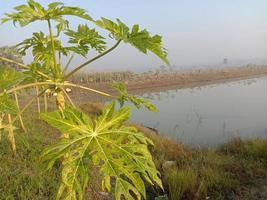 árvore de mamão no lago para agricultura foto