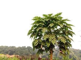 mamoeiro com folha verde foto