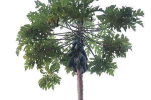 estoque de mamão verde saudável foto