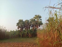 closeup firme de cana-de-açúcar no campo para a colheita foto