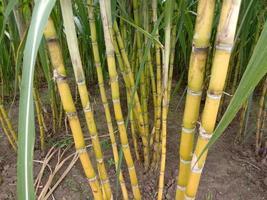 cana-de-açúcar saborosa e saudável de cor amarela foto