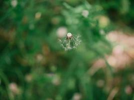 flor dente-de-leão branco na grama verde foto