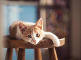 jovem gatinho com lindos olhos azuis com cor vermelho-branco foto