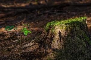 uma árvore jovem crescendo na floresta ao lado de um velho pinheiro com musgo no topo foto