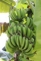 cacho de banana crua saudável na árvore foto