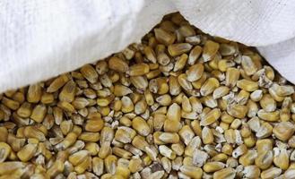 detalhe de milho cru em um saco de esparto foto