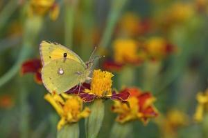 amarelo nublado - colias croceus, creta foto