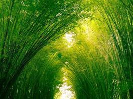 floresta de bambu pela manhã, bosques pitorescos de bambu na floresta tropical, na Tailândia foto