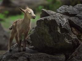 íbex siberiano na rocha foto