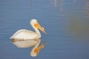 close-up foto de um lindo pelicano nadando