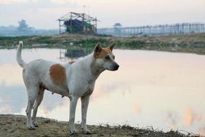 um cachorro branco com manchas marrons na cabeça e no corpo em pé na margem do lago pela manhã com o fundo da ponte u-bein foto