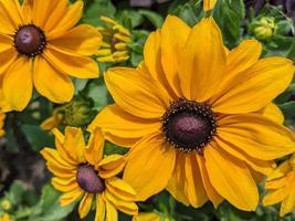 flores de susan de olhos negros em flor. foto