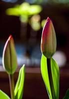 flores de tulipa em processo de florescimento, madri espanha foto