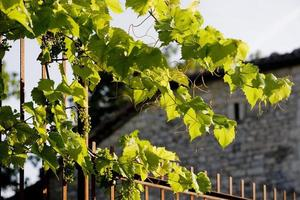 plantas de vinhas e uvas ainda verdes na província de lot, frança foto