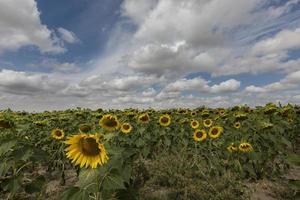 campo de girassóis na província de valladolid, castilla y leon, espanha foto